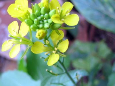 Горчица сарапетская (сизая, русская)