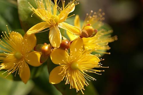 Зверобойные цветы