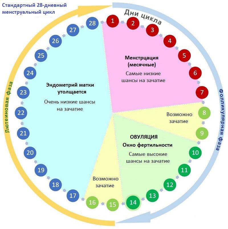 Шансы на зачатие на протяжении менструального цикла
