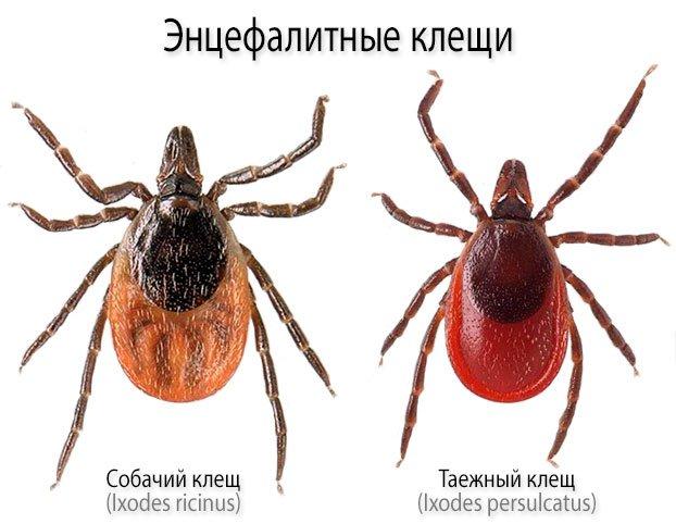 Энцефалитные клещи - иксодовые клещи видов «Ixodes persulcatus» (Таежный клещ) и «Ixodes ricinus» (Собачий клещ)