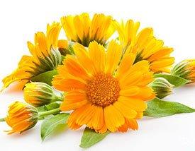 Календула – полезные свойства, применение, рецепты и лечение календулой