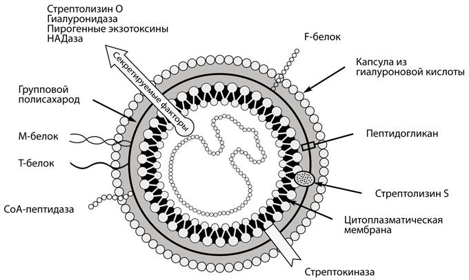 Строение клетки стрептококка