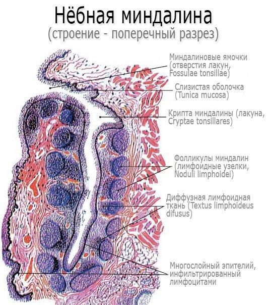 Строение небных миндалин