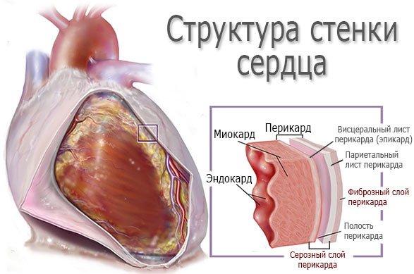 Структура стенок сердца