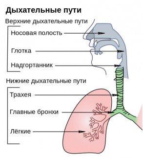 Размещение трахеи в организме человека