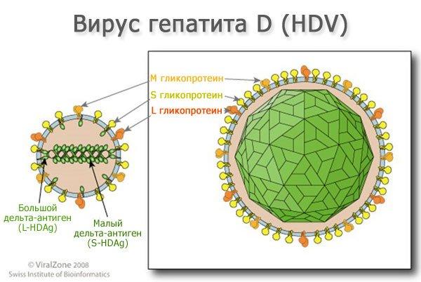 Вирус гепатита Д (HDV)