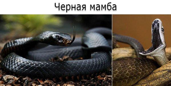 Ядовитая змея - черная мамба (лат. Dendroaspis polylepis)