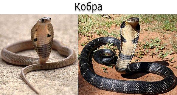 Ядовитые змеи - кобра