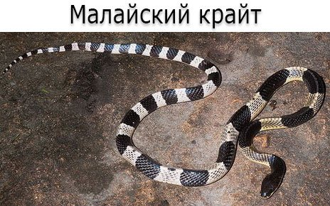 Ядовитая змея - Малайский крайт (лат. Bungarus candidus)