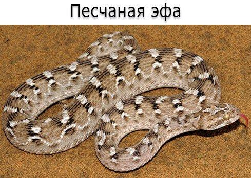 Ядовитая змея - Песчаная эфа