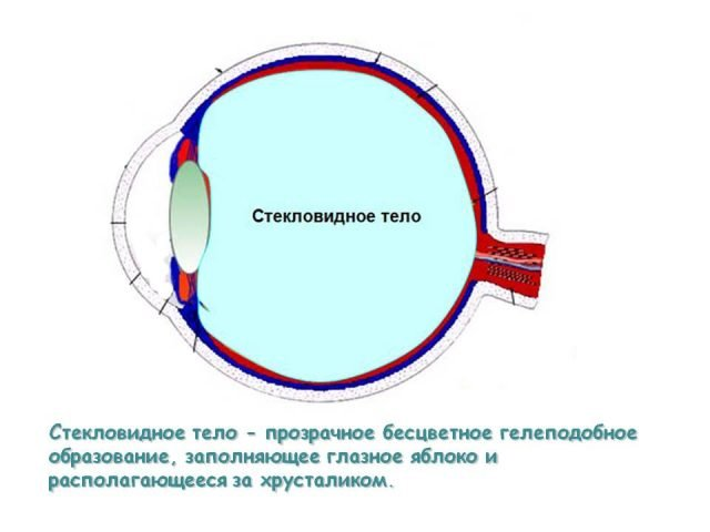 Стекловидное тело глаза