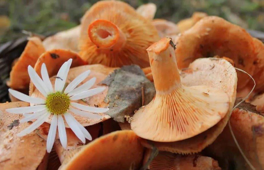 гриб рыжик польза