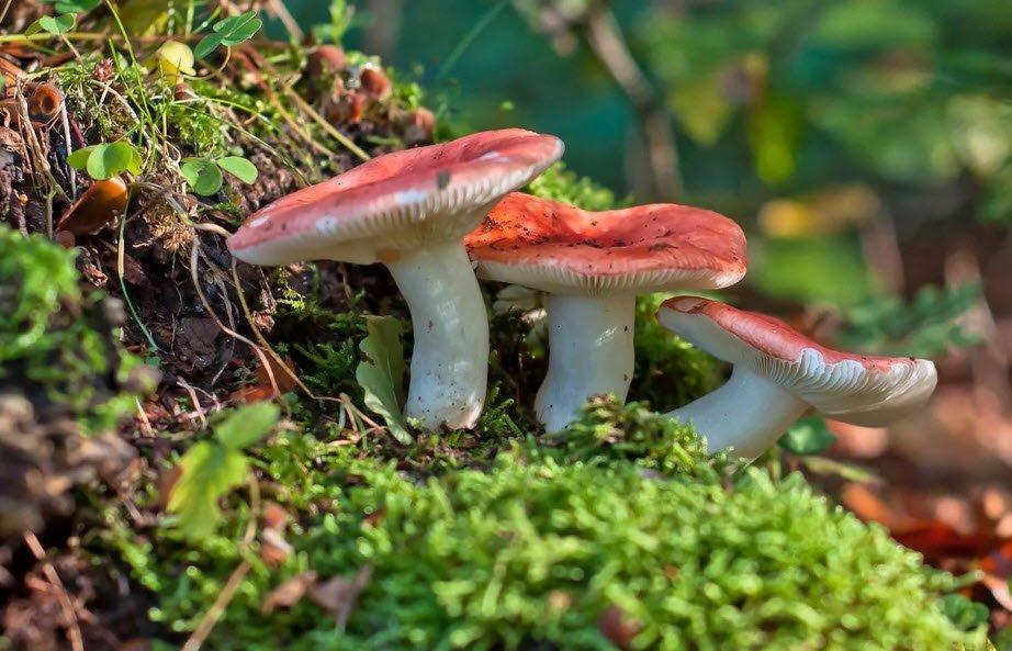 сыроежки польза грибов