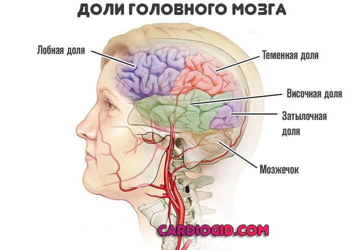 доли-головного-мозга