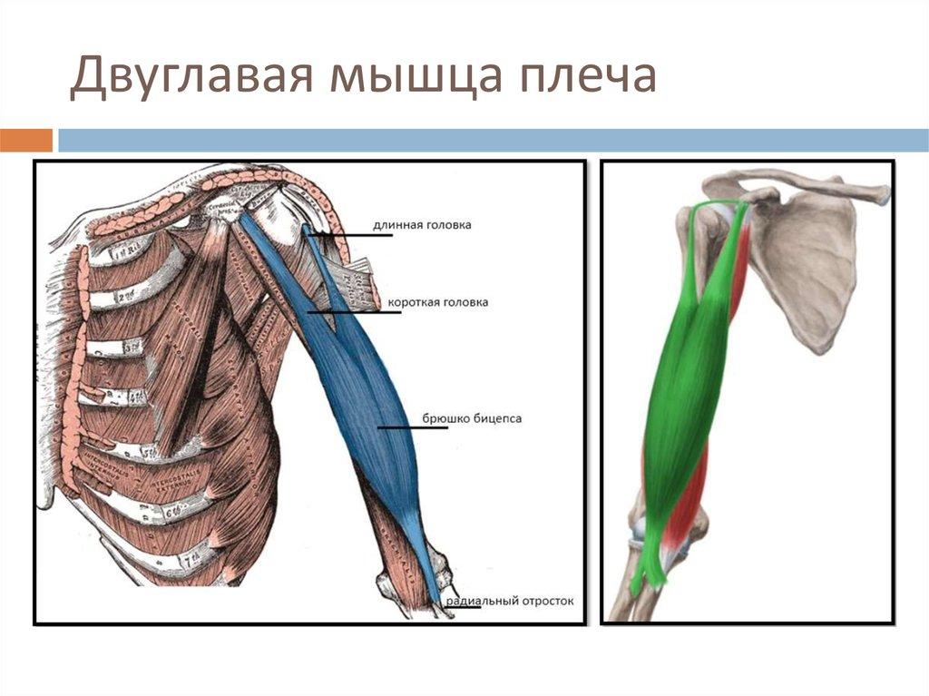 двуглавая мышца плеча